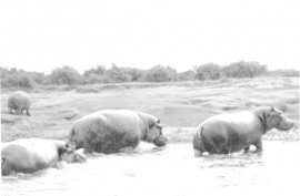 hippos_at_the_kazinga_channel_by_gary_fordham