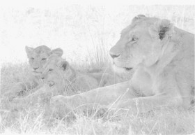 Lions at Queen Elizabeth National Park, 1977