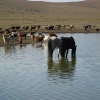 10 - Livestock Watering Hole in the Mongolian Countryside